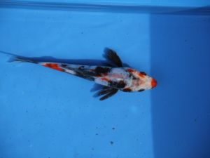 Beni kumonryu kuchi beni (red lips) 15cm