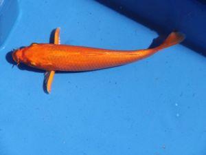 13-15cm koi ogon (oranje)