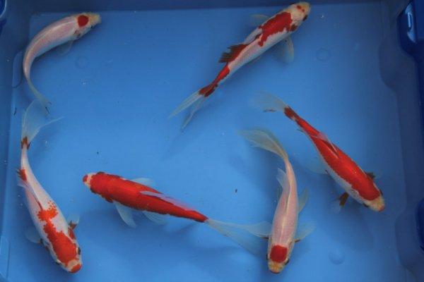 vijver de ideale vis