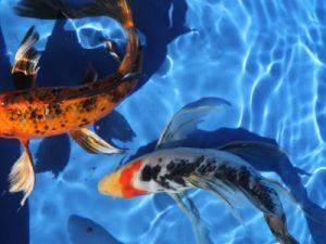 A-kwaliteit vlinderkoi 20-25cm lot van 2 vissen