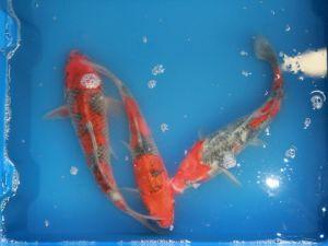 25-30cm goshiki