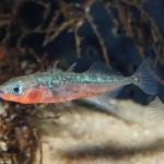 1° juin, enfin l'été est la, profitez du moment pour mettre des nouveaux poissons dans votre bassin. Pour les intéressés : il reste encore quelques épinoches adultes en stock!