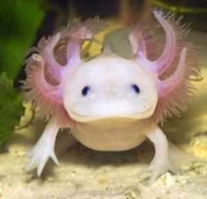 Axolotl terug voorradig!