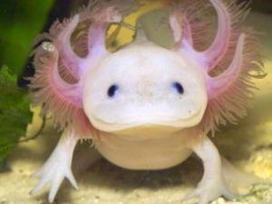 Axolotl 10-15cm lot de 2 salamandres (complètement aquatique- ne sortent pas l'aquarium)