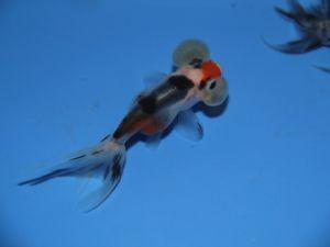 Bubble eye calico 5-8cm lot de 2 poissons