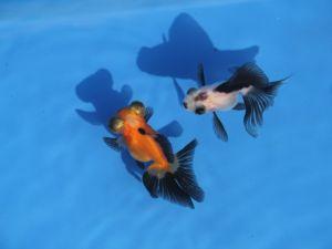 Vlinderstaart moor oranje & zwart 5-8cm mix