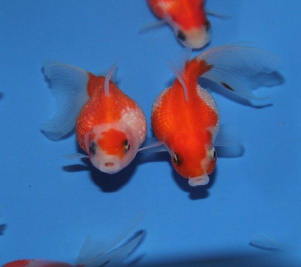 Voile de chine commander en ligne chez siervissen for Commander poisson en ligne