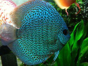 Discus snakeskin blue 5-7cm