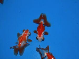 Telescoop oog rood&wit vlinderstaart 05-08cm lot van 2 vissen