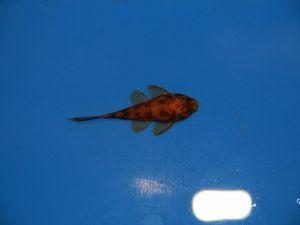 Borstelharnasmeerval rood&zwart 4-5cm