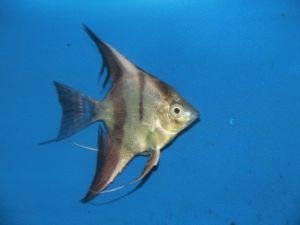 Maanvis bicolor 6-8cm lot van 2 vissen