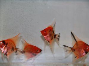 Scalaire rouge 4-6cm lot de 2 poissons