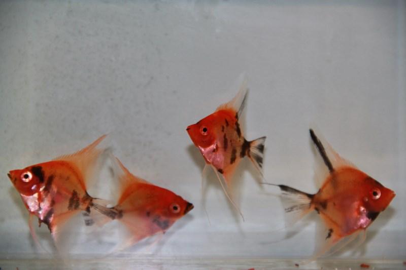 Rode maanvissen voorradig!