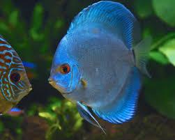Discus kobalt blauw 5-7cm