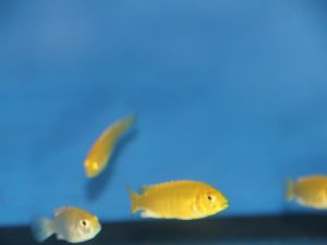 Labidochromis caeruleus geel