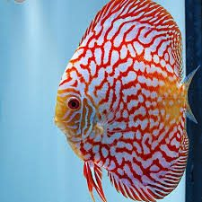Discus pigeon blood red & blue 5-7cm