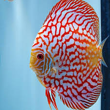 Discus pigeon blood red & blue 5cm