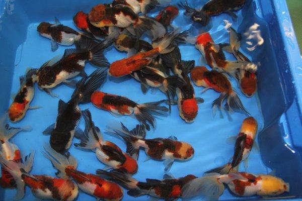 Oranda tricolor