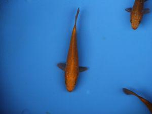 13-15cm chagoi
