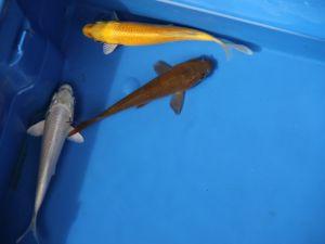 12-15cm koi mix platinum, yamabuki & chagoi lot van 3 vissen