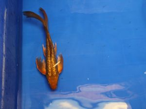 Vlinderkoi 30-40cm (fotokoi N°04 kan maar eenmaal besteld worden)