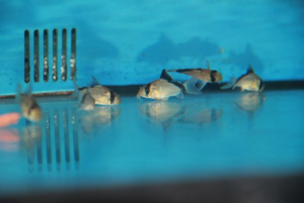 Corydoras masked