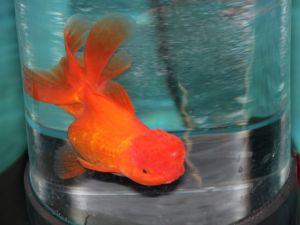 Oranda rood 15-20cm