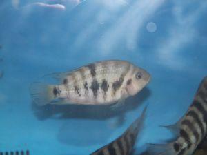 Cichlidé zebra – cichlasoma nigrofasciatus 12-15cm