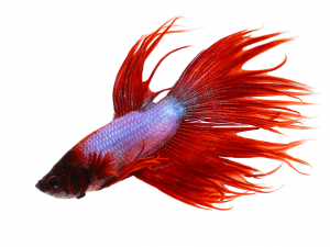 Kempvis man crowntail rood