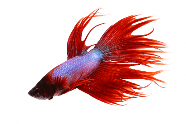 Kempvis crowntail rood