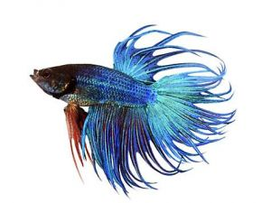 Kempvis man crowntail blauw