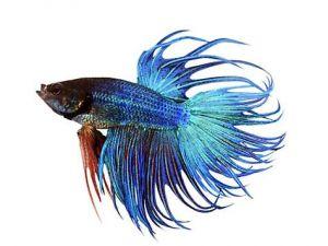 Kempvis man crowntail blauw