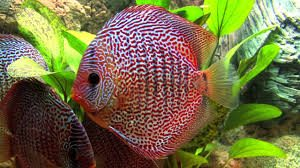 Discus Snakeskin red 5-7cm