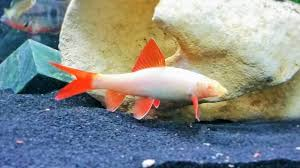 Regenbooghaai albino