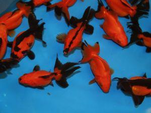 High quality ryukin vlinderstaart rood & zwart 8-10cm