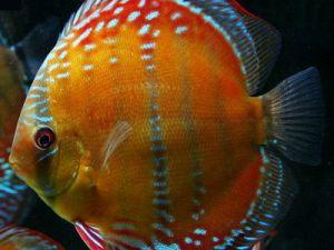 Discus red alenquer 5-7cm