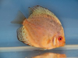 Discus pigeon blood silver 7-8cm