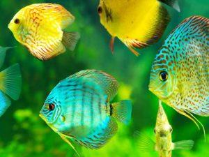 Discus mix van verschillende kleuren 5-7cm lot van 10 vissen