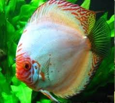 Discus pigeon blood silver 05cm