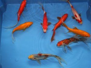 Comètes mix 4 couleurs (jaune, rouge, shubunkin & sarasa) 14-16cm lot de 4 poissons