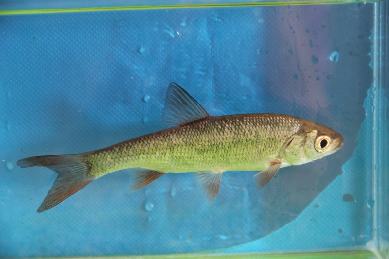Nieuw inheems visje!