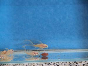Albino pantsermeerval zeilvin 3-4cm