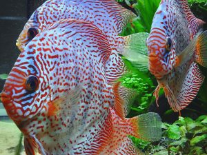 Discus german wonder 6.5-7cm