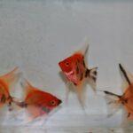 Rode maanvissen