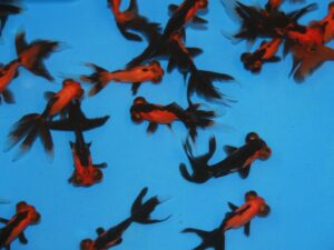 A kwaliteit moor rood & zwart 5-7cm