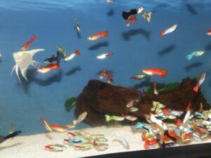 Boîte de repeuplement de poissons tropicaux (assortiment de 28 poissons)