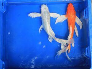 Ogon vlinderkoi oranje & wit 25-30cm partij van 2 vissen (ook mogelijk in gele kleur)