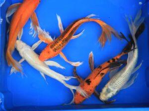 Vlinderkoi mix 25-30cm partij van 5 vissen (verschillende kleuren, vergelijkbare mix)