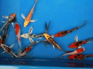Vlinderkoi AAA 12-15cm partij van 3 vissen